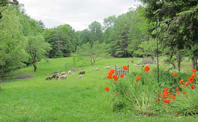 pasture with poppies and sheep.